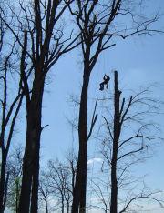 elagage-demontage pour liberer un arbre