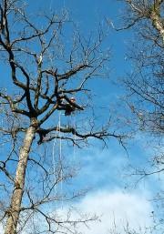 élagage de chêne dans le bois de dremil lafage