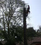 démontage de séquoia sur lardenne